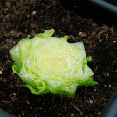 How to Regrow Store-Bought Veggies