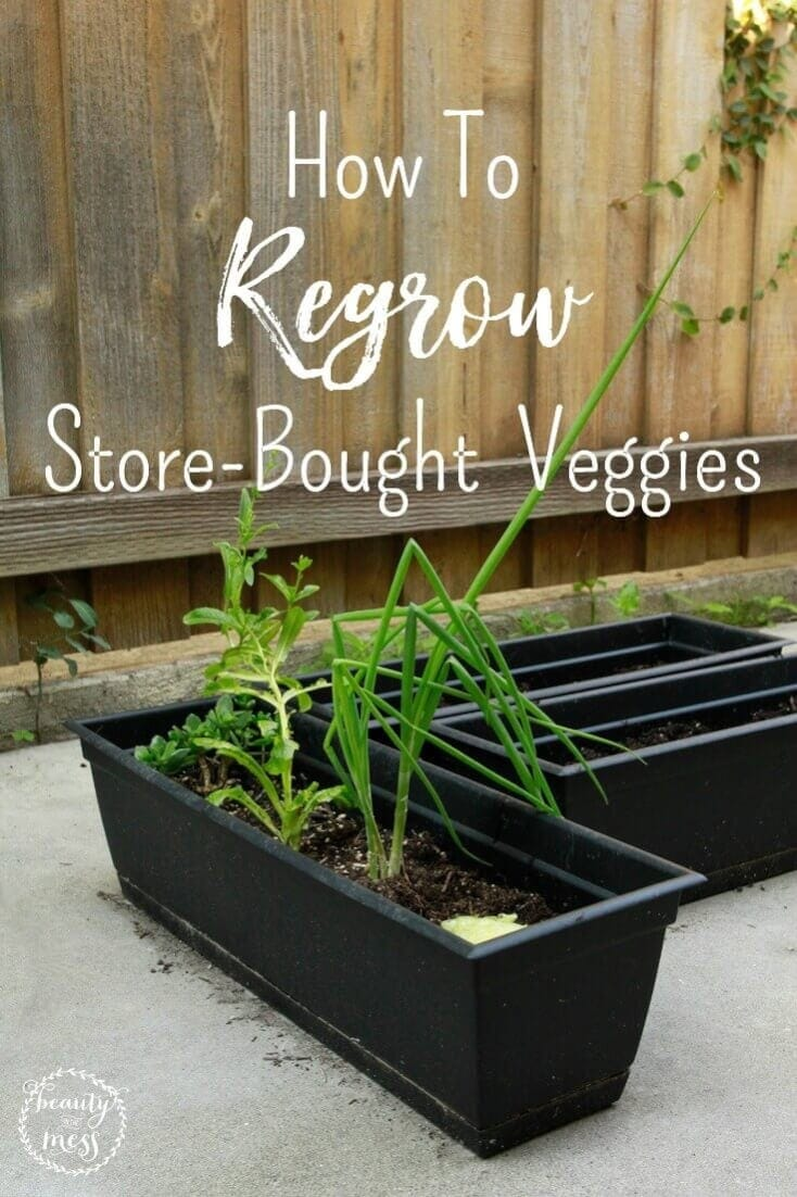 Looking for ways to slash your grocery budget?  Here's a simple way to regrow store-bought vegetables so that you can save money and still eat healthily. #frugalliving #growyourfood #indoorgarden via @simplifyingfamily