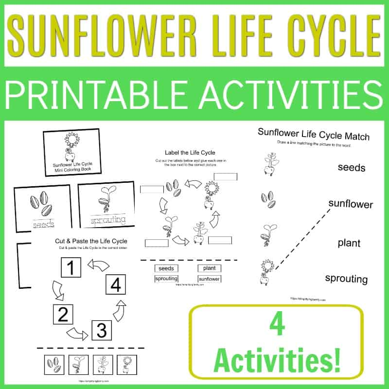 sunflower life cycle - seeds sprouting plant sunflower